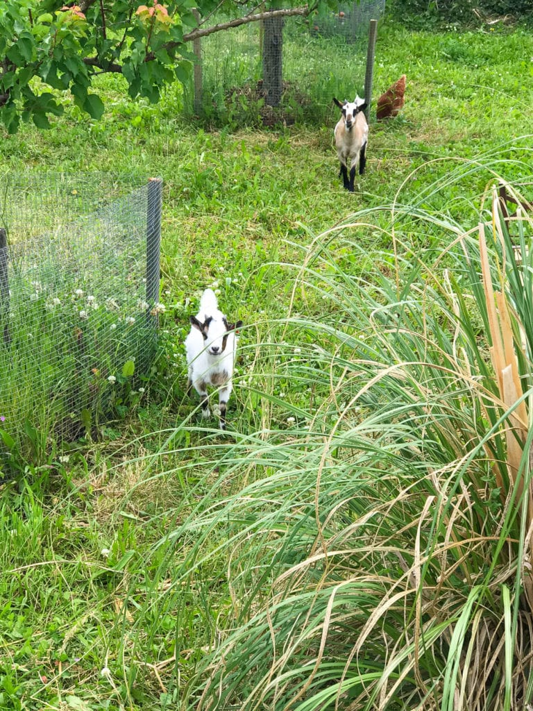 Goats in Chitry